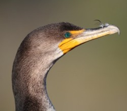 Double-Crested Cormorant in the Everglades